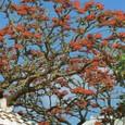 沖縄・沖縄県の花デイゴの花