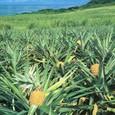 沖縄・パイン畑」