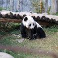 パンダの住居