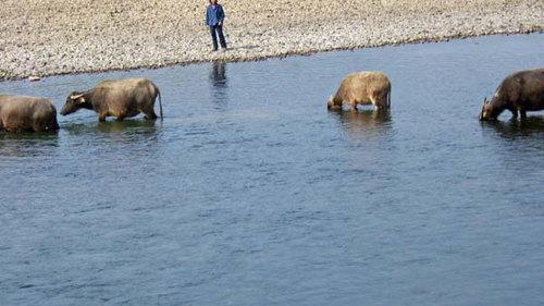漓江川で水牛が水遊びにひとこま